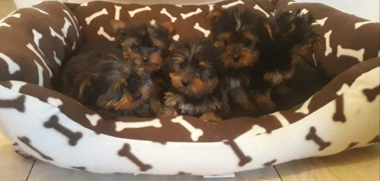 Dogs chihuahua puppies for sale