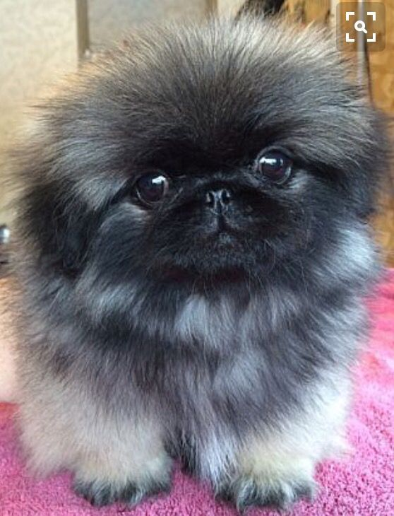 Pin By Allayne Jefferson On Doggie Heaven Pekingese Puppies Pet