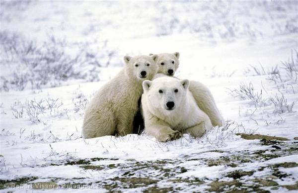 Ich liebe Eisbären!