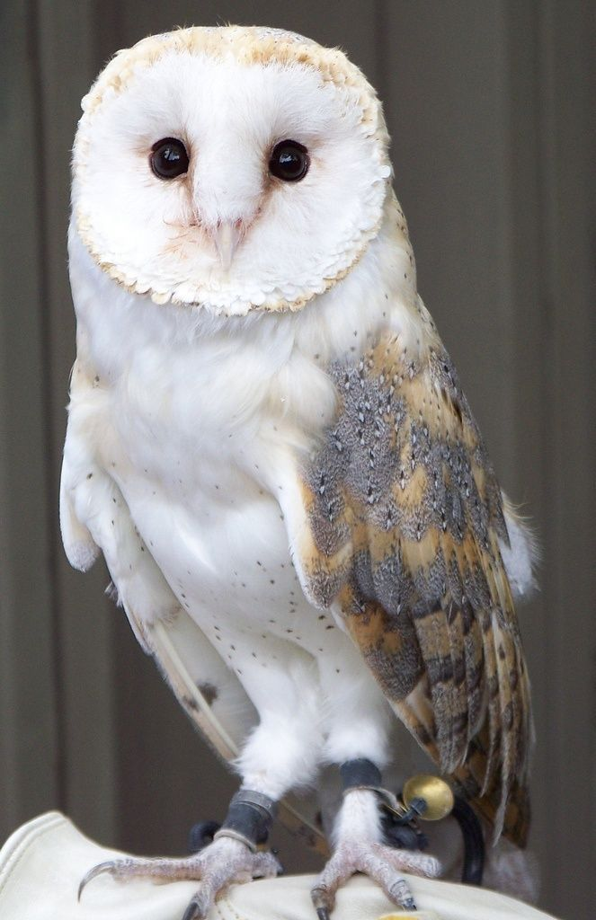 Beautiful Barn Owl   Owl - Barn Owl especially!   Pinterest