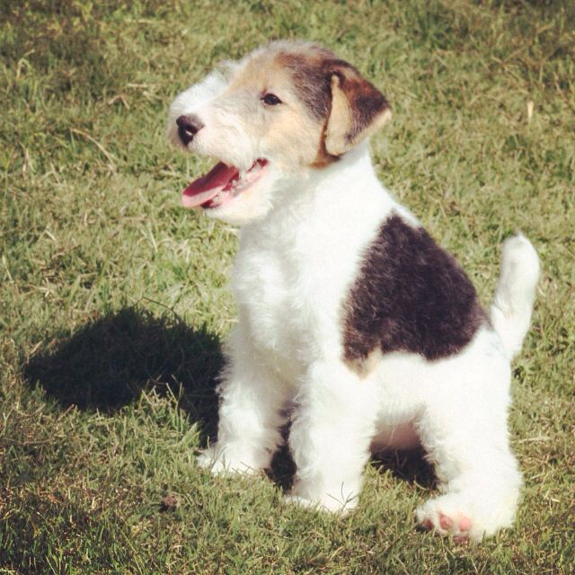 Potential Puppy Wire Hair Fox Terrier Very Sy Little