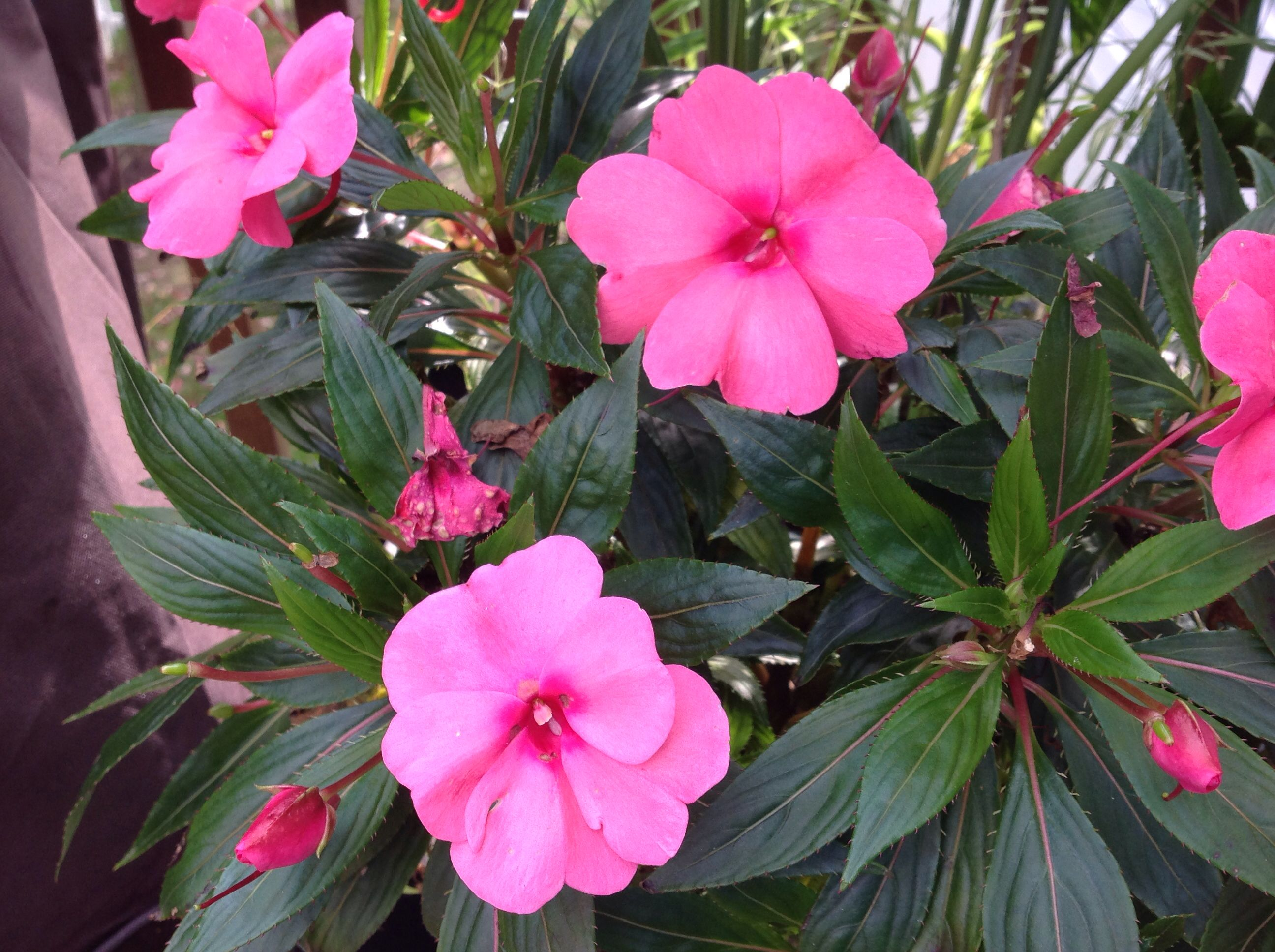 Pin Pin Impatiens Flower Specs Information Flowers Gallery on Pin