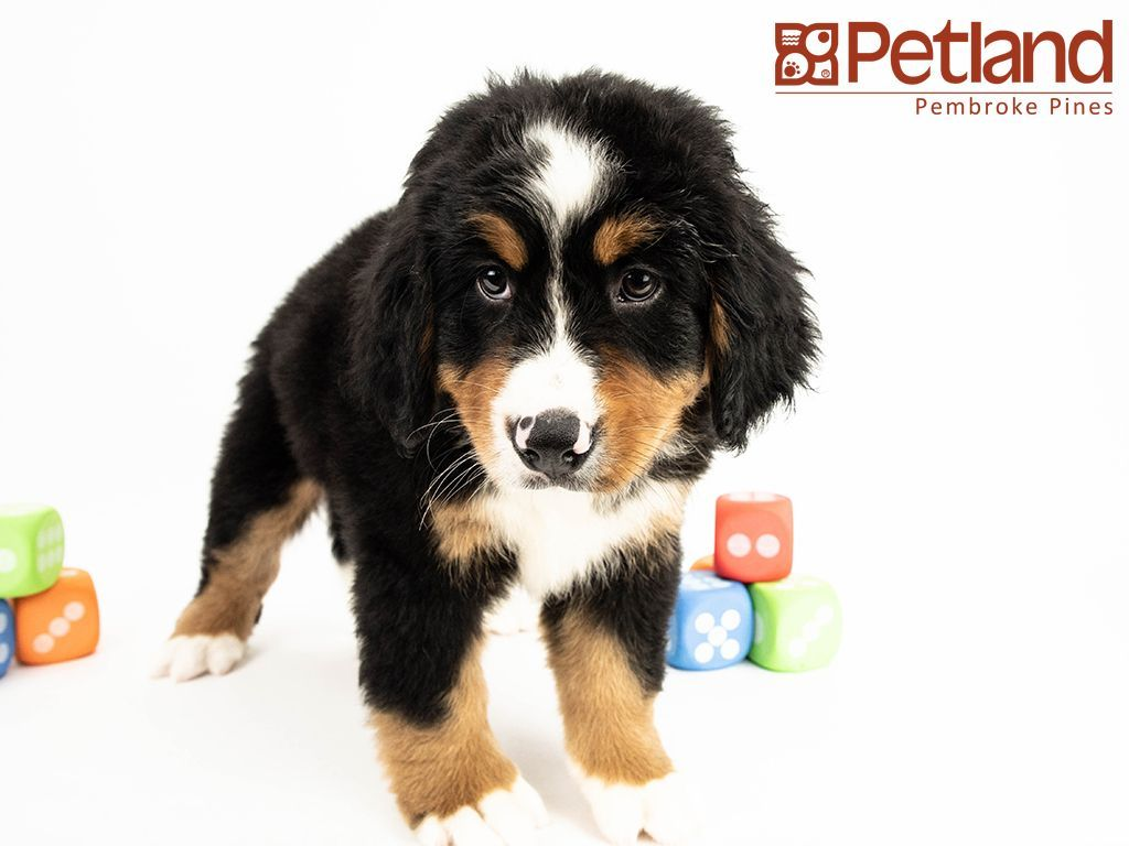 Petland Florida Has Bernese Mountain Dog Puppies For Sale Interested In Finding Out More Abou Puppy Friends Bernese Mountain Dog Puppy Mountain Dogs