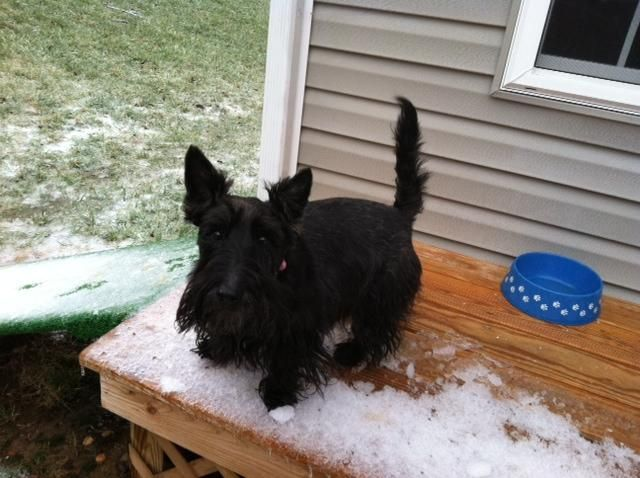 Adopt Keely On Terrier Dogs Scottish Terrier Adoption