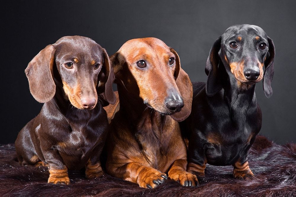 20 Cool Facts To Learn About Dachshunds Dachshund Dog Dachshund