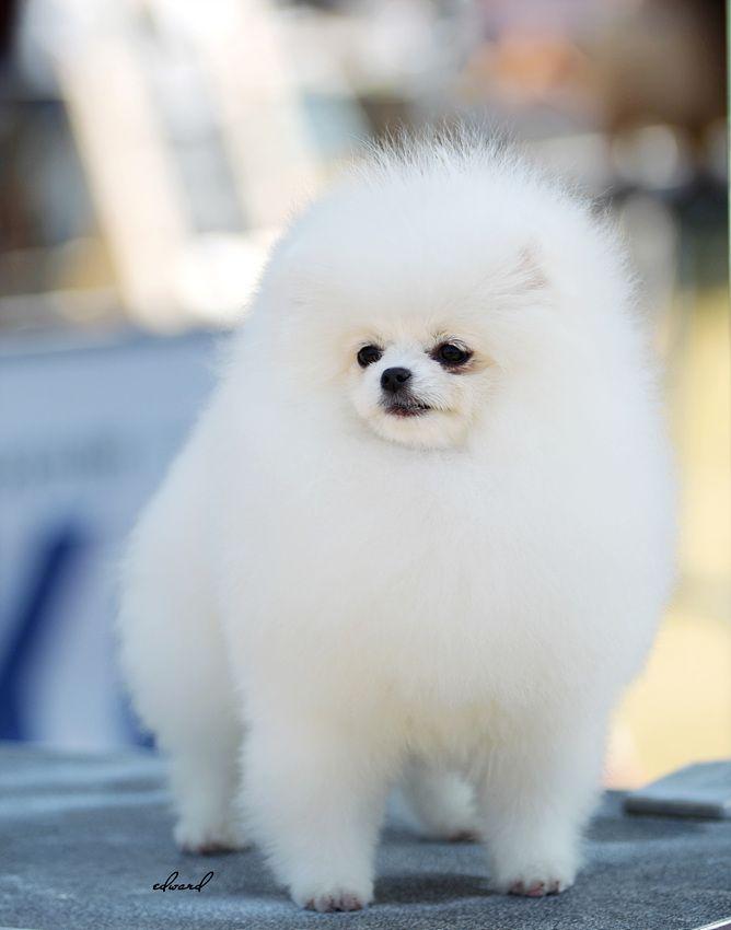 Pomeranian Japanese Puppies - Pets Lovers