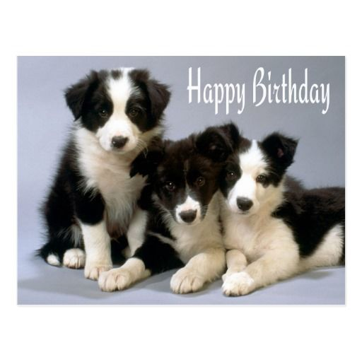 Happy Birthday Border Collie Puppy Dog Post Card Zazzle Com