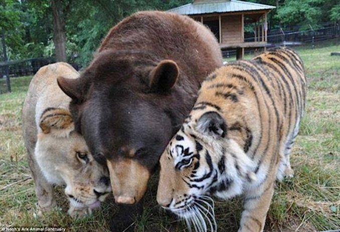 León, Oso y Tigre