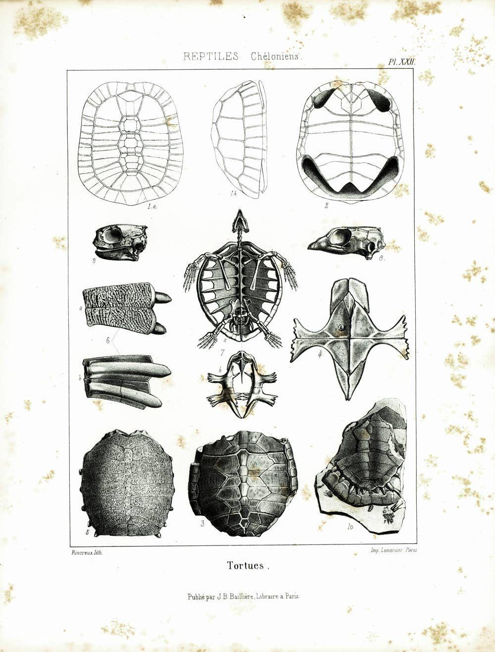 1853 Turtle Shell Tortoise Antique Fossil Skeleton Xl Print