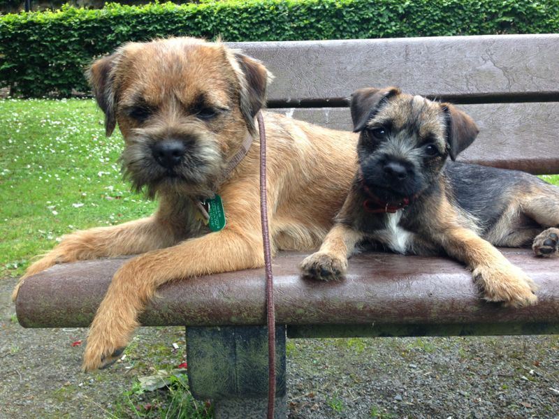 A Red And A Blue And Tan Puppy Border Terrier Terrier Terrier