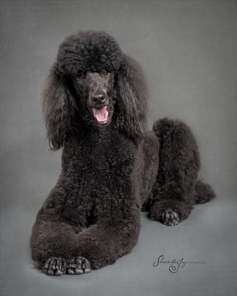 Blog With Images Poodle Puppy Poodle Puppy Standard Poodle Dog