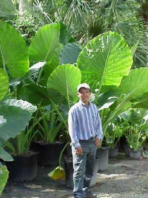 Alocasia Calidora Elephant Ear