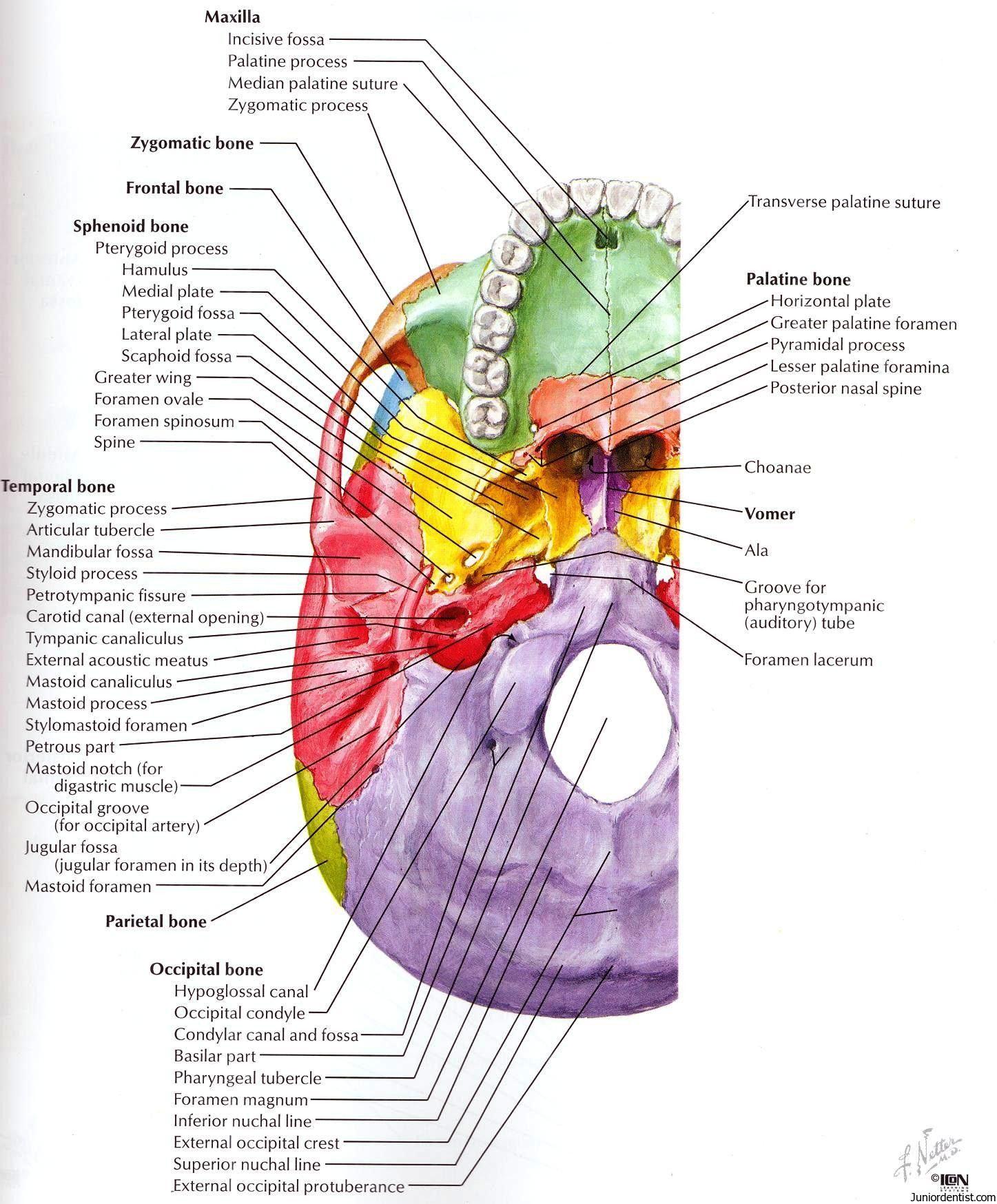 medium resolution of structures passing trough foramen of skull foramen of skull