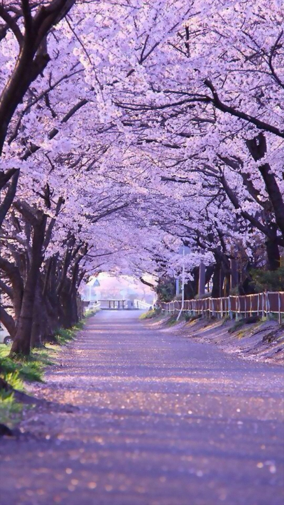 Sakura Blossom Street IPhone 6 Plus Wallpaper
