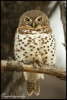 Barred Owlet By Onephotography Photographic Safaris On 500px Animals Beautiful Pet Birds Cute Birds