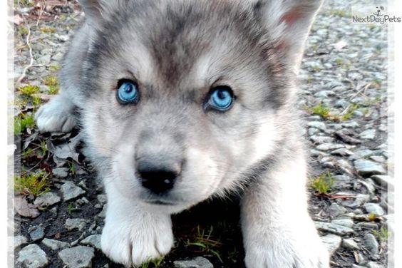 Meet Agouti A Cute Wolf Hybrid Puppy For Sale For 1 200 Amazing Wolf Cross Wolf Hybrid Puppies Hybrid Dogs Wolf Hybrid