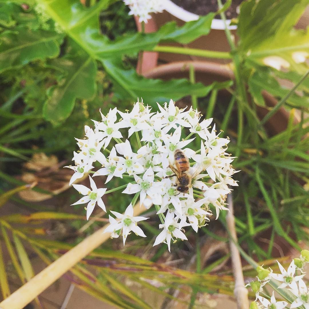 One of the bugs in my garden!  #bee #drawinginspiration #herbgarden #bugsinthegarden #chives #flowers #chivesinbloom #blooms #whiteflowers #mybackyard #greenthumb #homegrown #pollinator #pollination