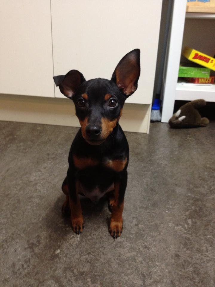 Min Pin 3 Cute Chihuahua Miniature Pinscher Puppies