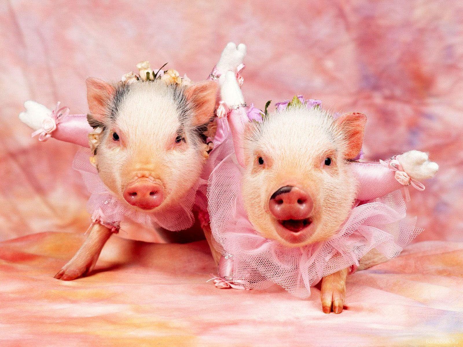 Fondos de pantalla Android Cerdos divertidos, Animales