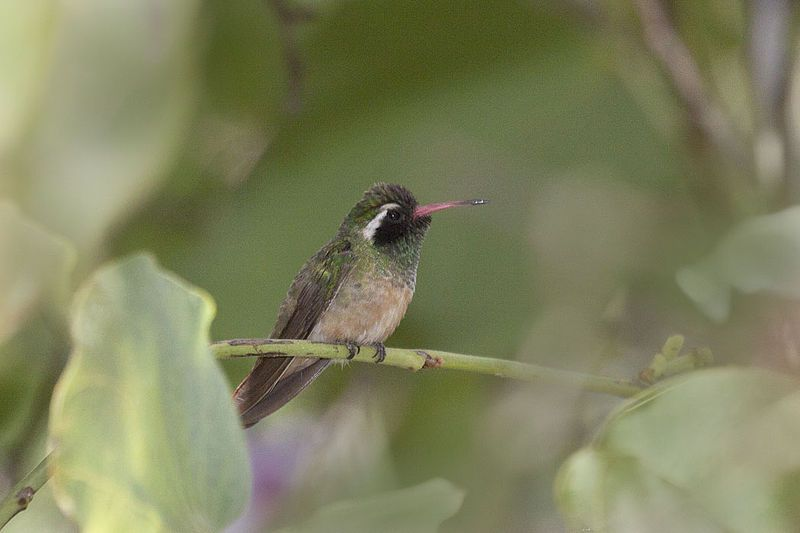 Xantus S Hummingbird Animals That Start With X Hummingbird