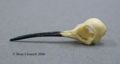 Ruby Throated Hummingbird Skull Hummingbird Skull Ruby Throated Hummingbird Hummingbird
