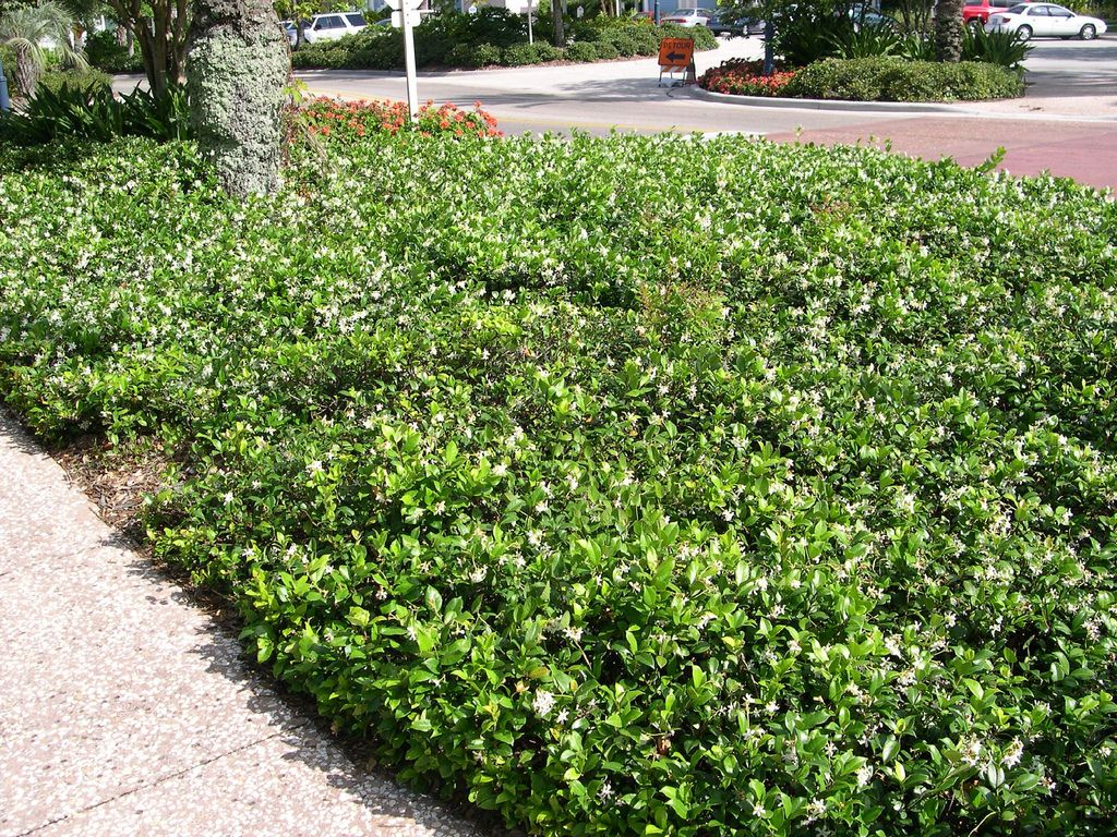Confederate Jasmine Used As Groundcover At Disney