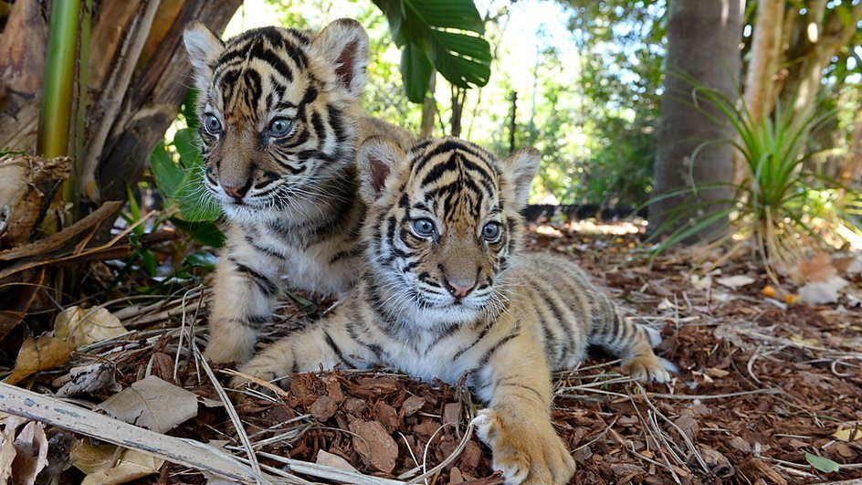 Look they are posing small wild cats tiger pictures