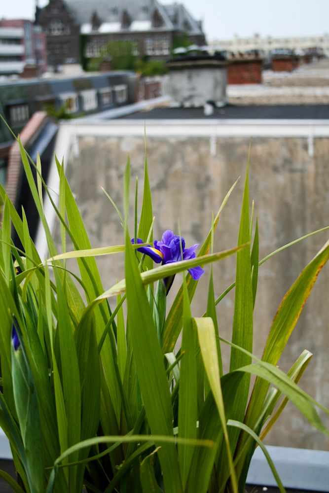 Iris on our roofterrace by ConnyvdHvL
