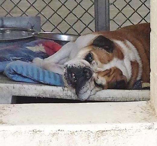 Safe This Pretty Lady Is 6 But She Looks Like She Might Be A Little Older And She Seems To Have Limited Sight And Hearing English Bulldog Animals Bulldog
