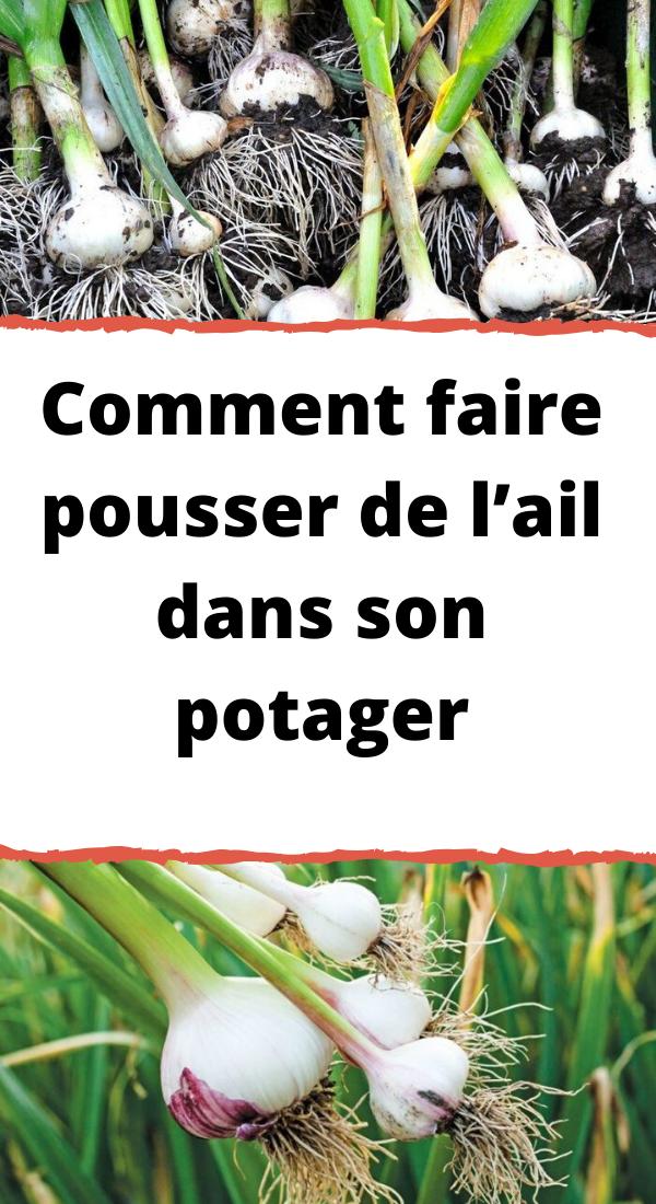 Faire Pousser De L'ail : faire, pousser, l'ail, Comment, Faire, Pousser, L'ail, Potager, Meme,, Faire,