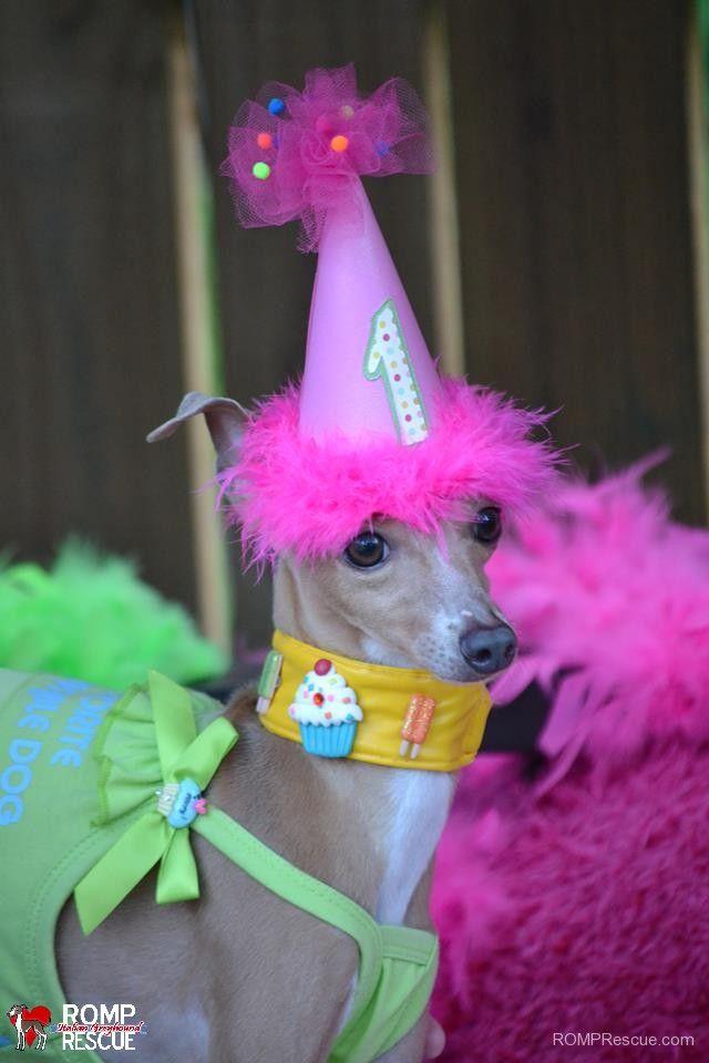 Italian Greyhound Birthday Gotcha Day Happy Hat Cake Candle Doggy Dog Iggy Ig Pet Iggies Greyhounds