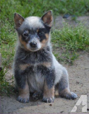 Australian Cattle Dog Puppy Blue Heeler Male Ckc Cattle Dog Puppy Australian Cattle Dog Puppy Blue Heeler Puppies