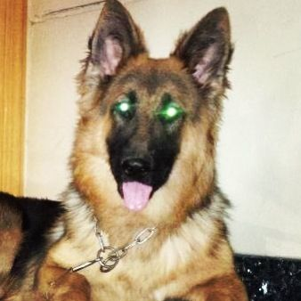Rainbow Is A Beautiful Gull Breed German Shepherd Who Needs A Good
