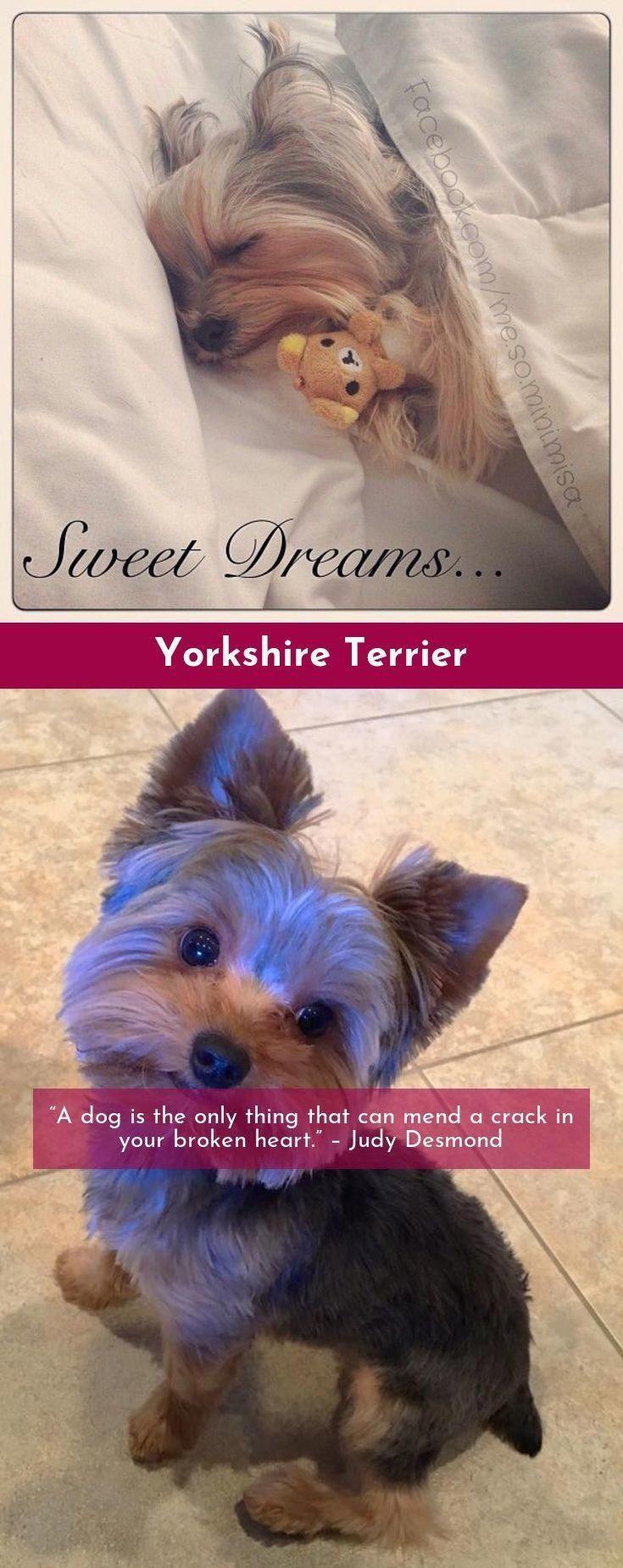 Yorkie Puppies For Sale In Va Craigslist Ideas