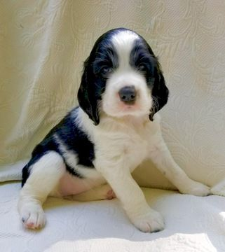 Litter Of 2 English Springer Spaniel Puppies For Sale In Black Mountain Nc Adn 44792 On Puppyfinde English Springer Spaniel Puppies For Sale English Springer