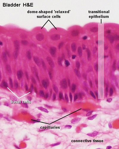 the function of transitional epithelium cells is to. Black Bedroom Furniture Sets. Home Design Ideas