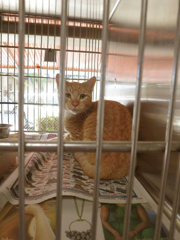 Downey CA: A4763718 orange male young adult cat