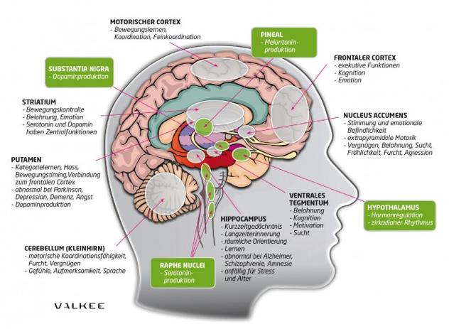 Valkee Human Charger - Anti Jetlag und SAD Headset  Die wichtigsten lichtempfindlichen Gehirnabschnitte und ihre Funktion