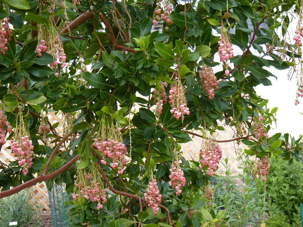 Arbutus Marina Flowers Fast Growing Shrubs Fast Growing Trees Growing Shrubs