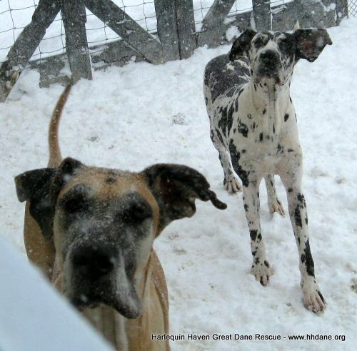 Rescue Danes At Play In The Snow At Harlequin Haven Great Dane