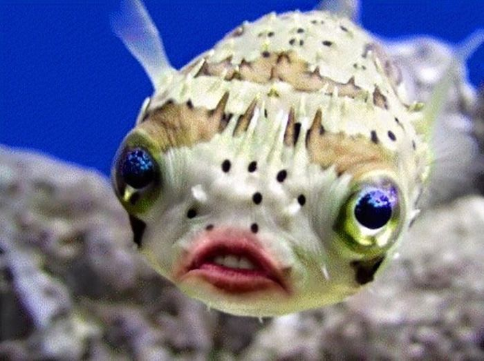 Putting Donald Trump's Mouth on Puffer Fish will Make Your Day, http://itcolossal.com/donald-trump-mouth-puffer-fish/  Check more at http://itcolossal.com/donald-trump-mouth-puffer-fish/