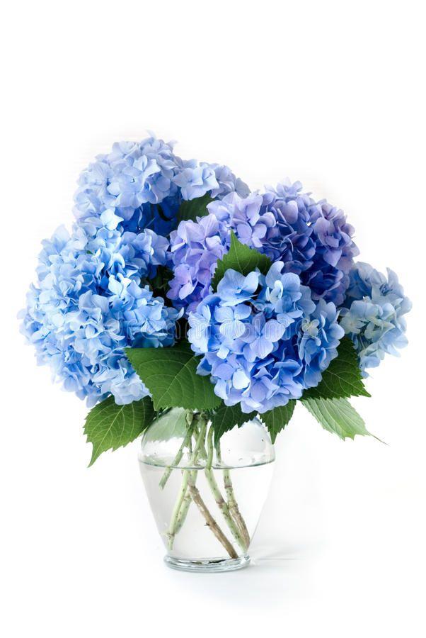 Blue Hydrangeas. Isolated Blue Hydrangea Flowers In Glass Vase , #AFF, #Isolated, #Hydrangeas, #Blue, #Hydrangea, #Vase #ad