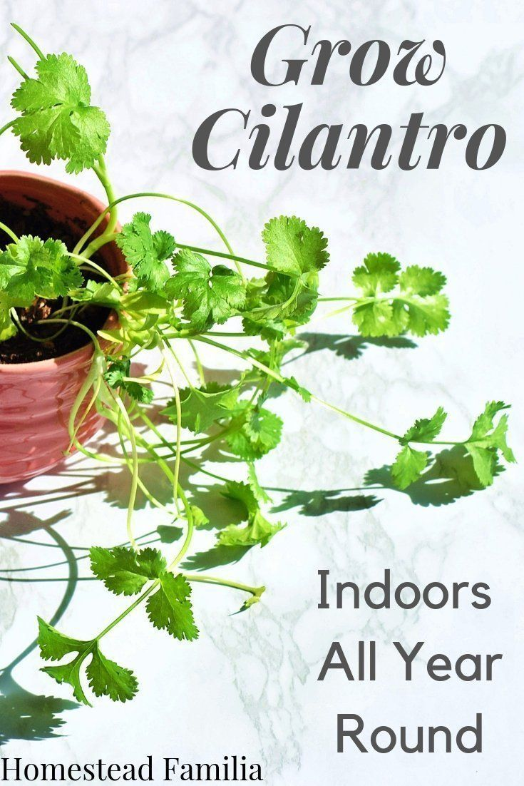 How to Grow Cilantro Indoors All Year Round #howtogrowplants