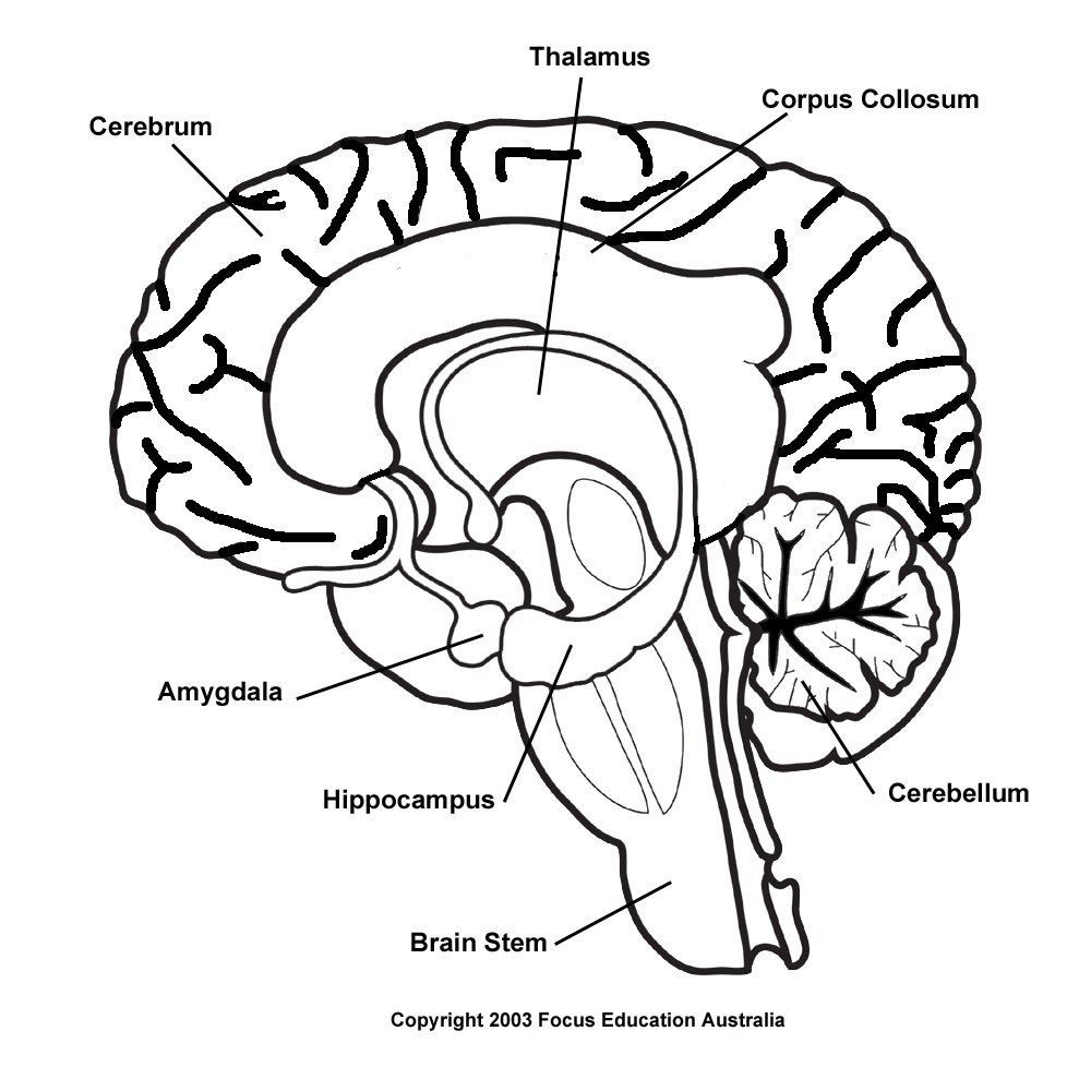 small resolution of blank brain diagram blank brain diagram drawn brain inside labeled pencil and in color drawn