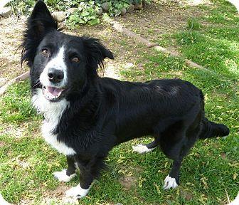 Corning Ca Border Collie Mix Meet Bea A Dog For Adoption Border Collie Dog Adoption Border Collie Mix