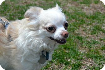 Grafton Ma Chihuahua Mix Meet Fluffy A Dog For Adoption Dog