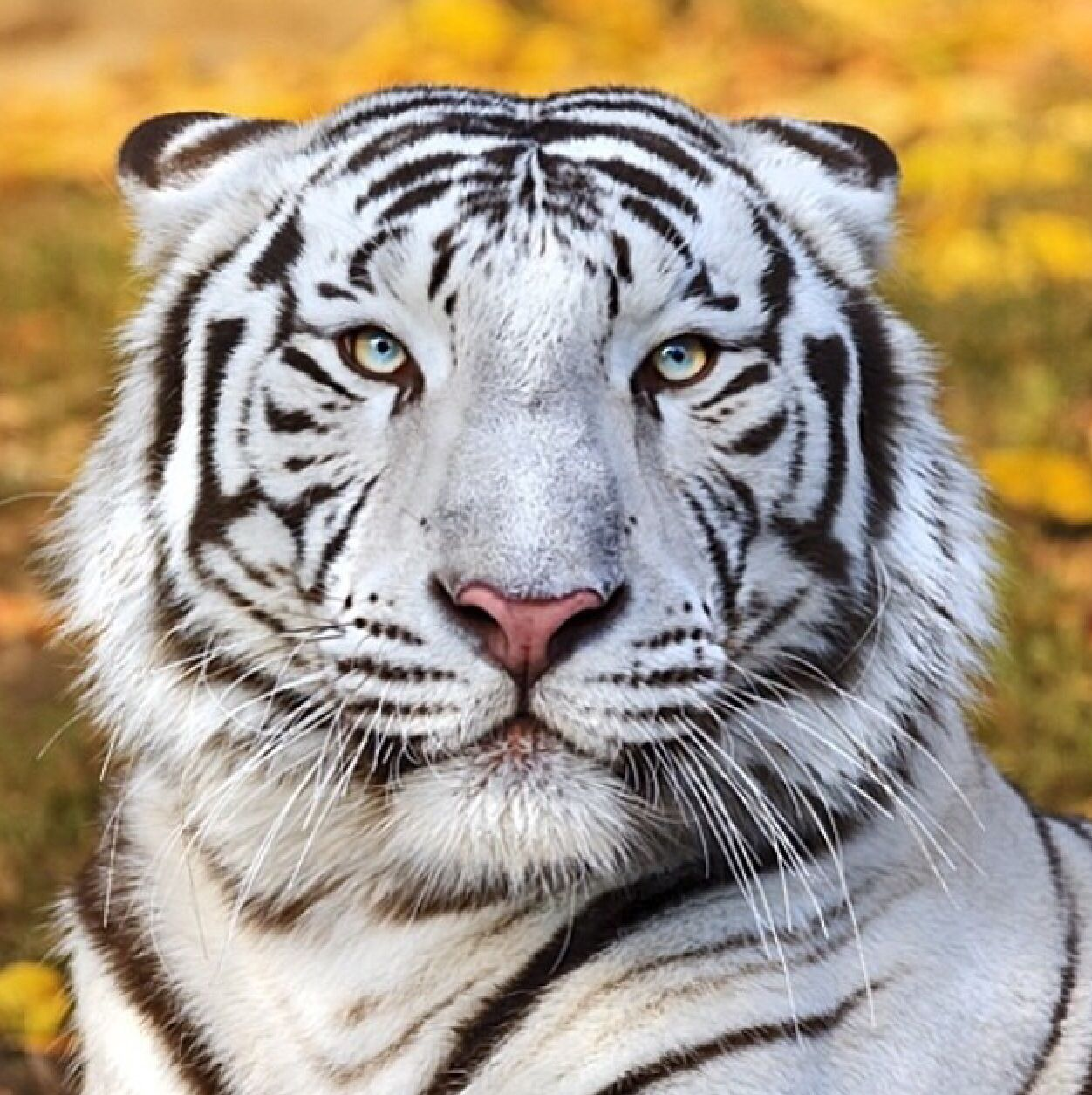 Pin By Gokhan Canbaz On I Just Nature White Tiger Tiger Photography Tiger