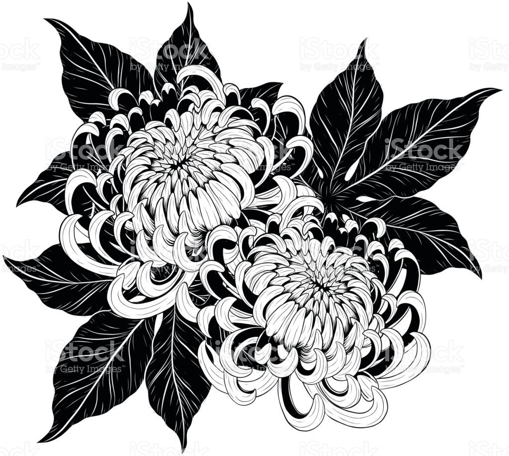 Chrysanthemum Vector On White Background Chrysanthemum Flower By