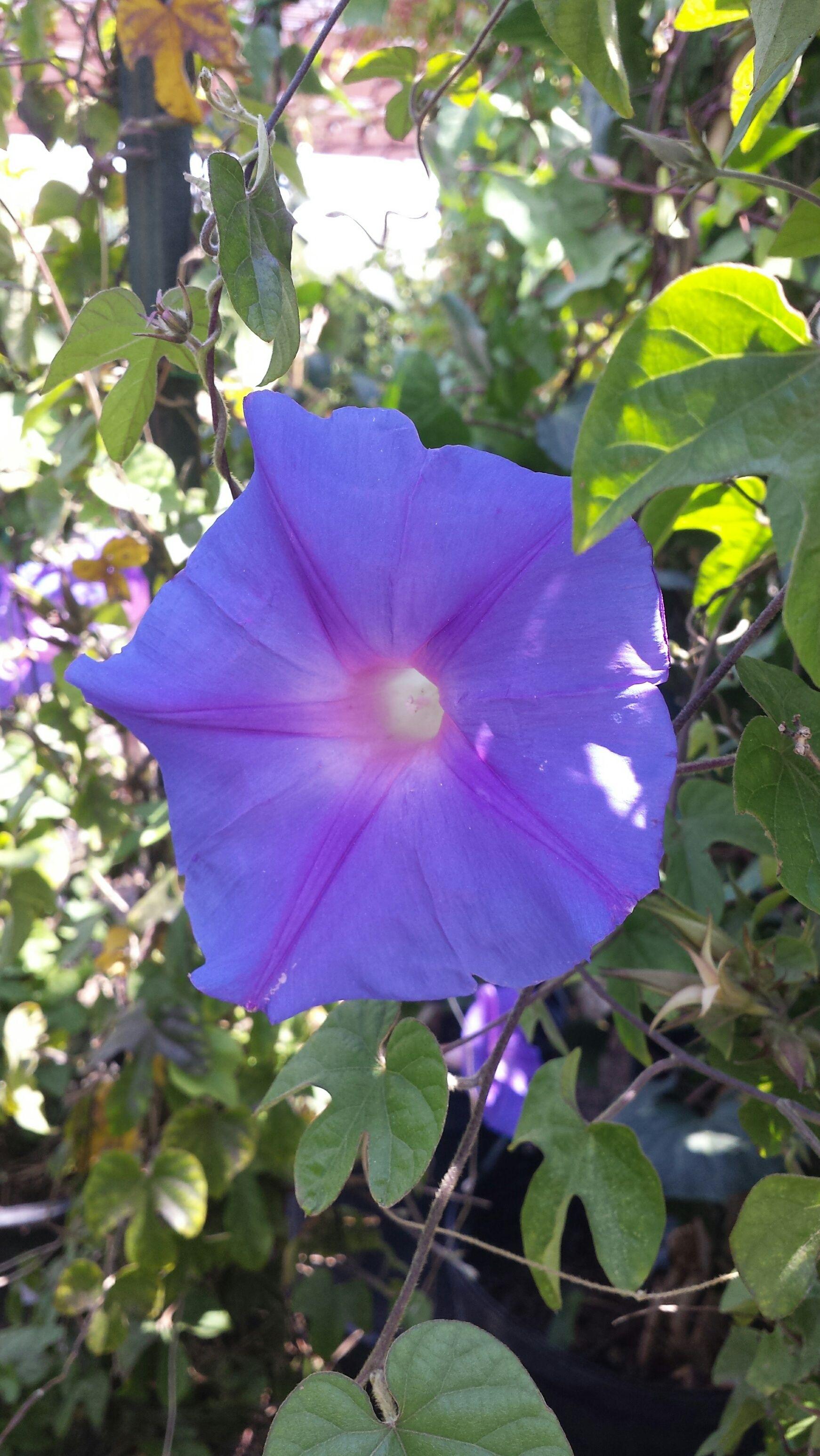 Fullsize Of Heavenly Blue Morning Glory