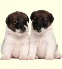 Foodle Puppies For Sale Foodle Dog Breed Profile Puppies Dog